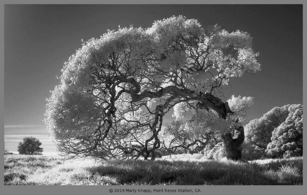 MartyKnapp_Bowed-Oak.jpg