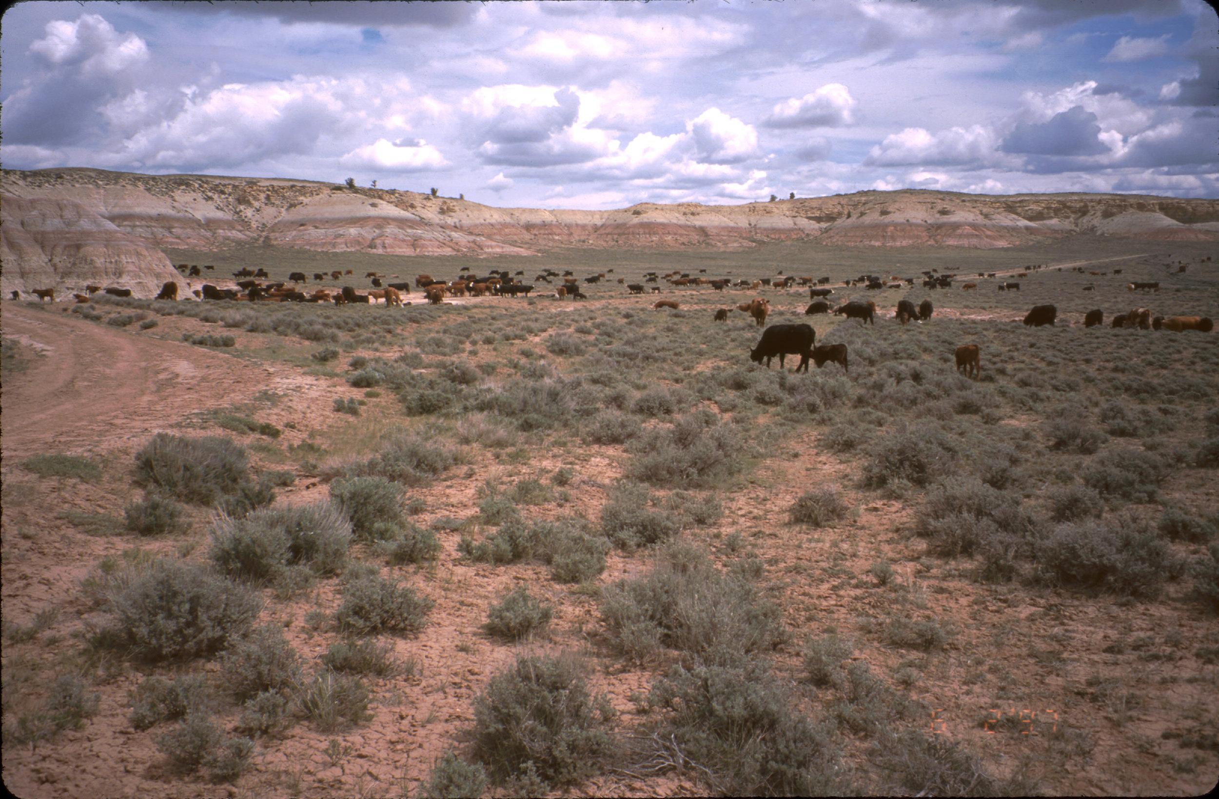 Cows on the Range.jpg