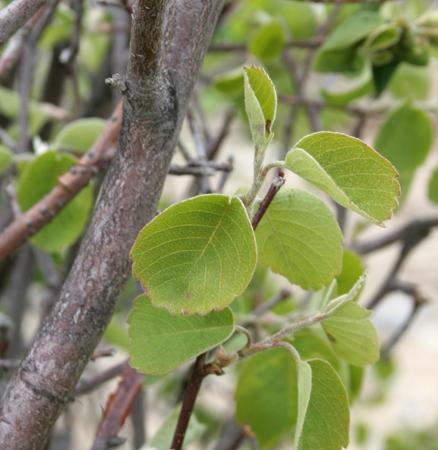 tree_serviceberry.jpg