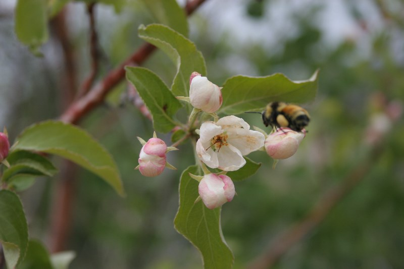 Flowering crabapple.jpg