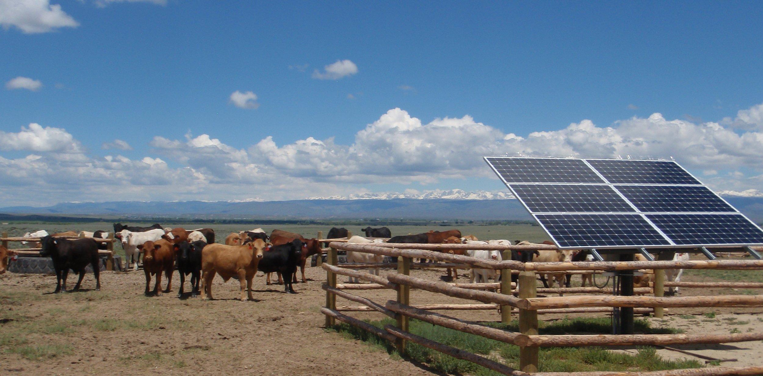 Cows at Solar.JPG