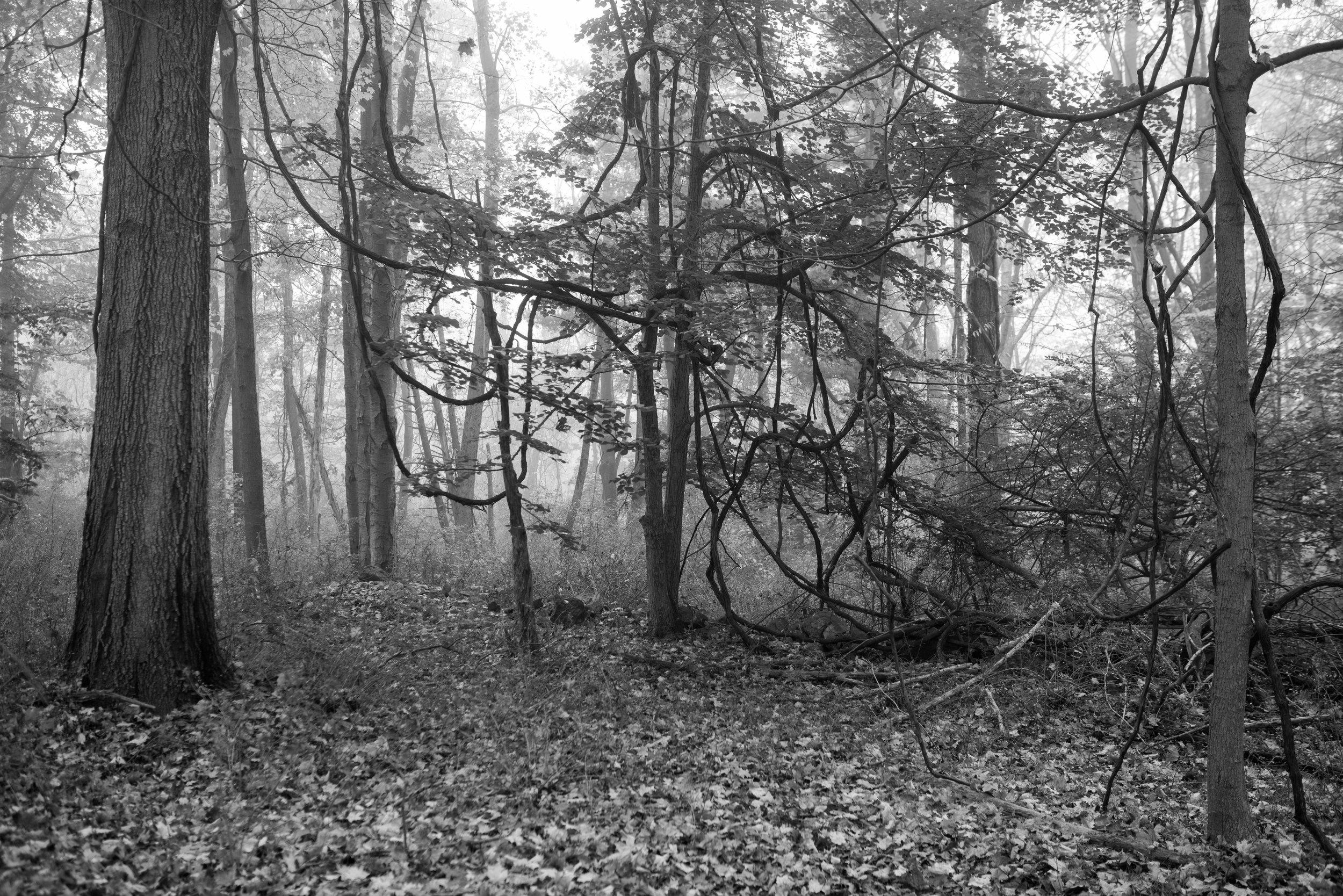 forest_vines_mist.jpg
