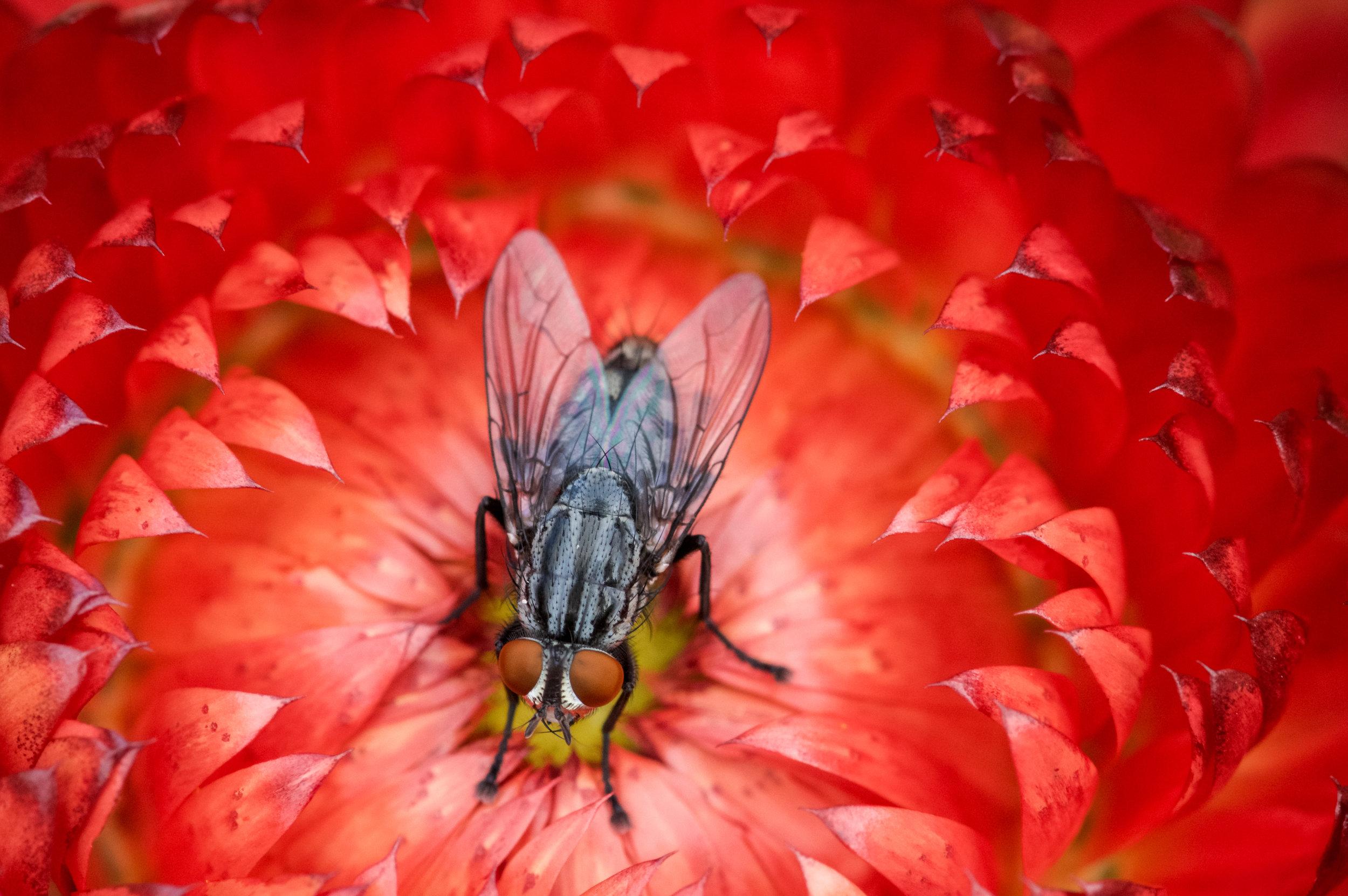 fly_on_flower.jpg