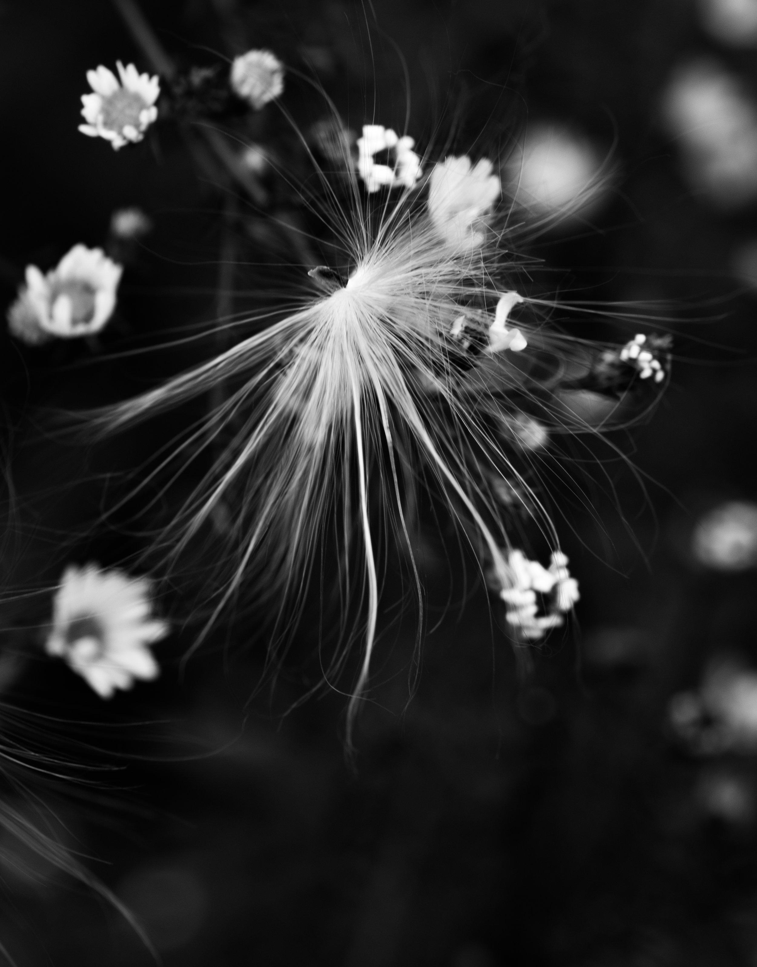 milkweed_small_buds.jpg