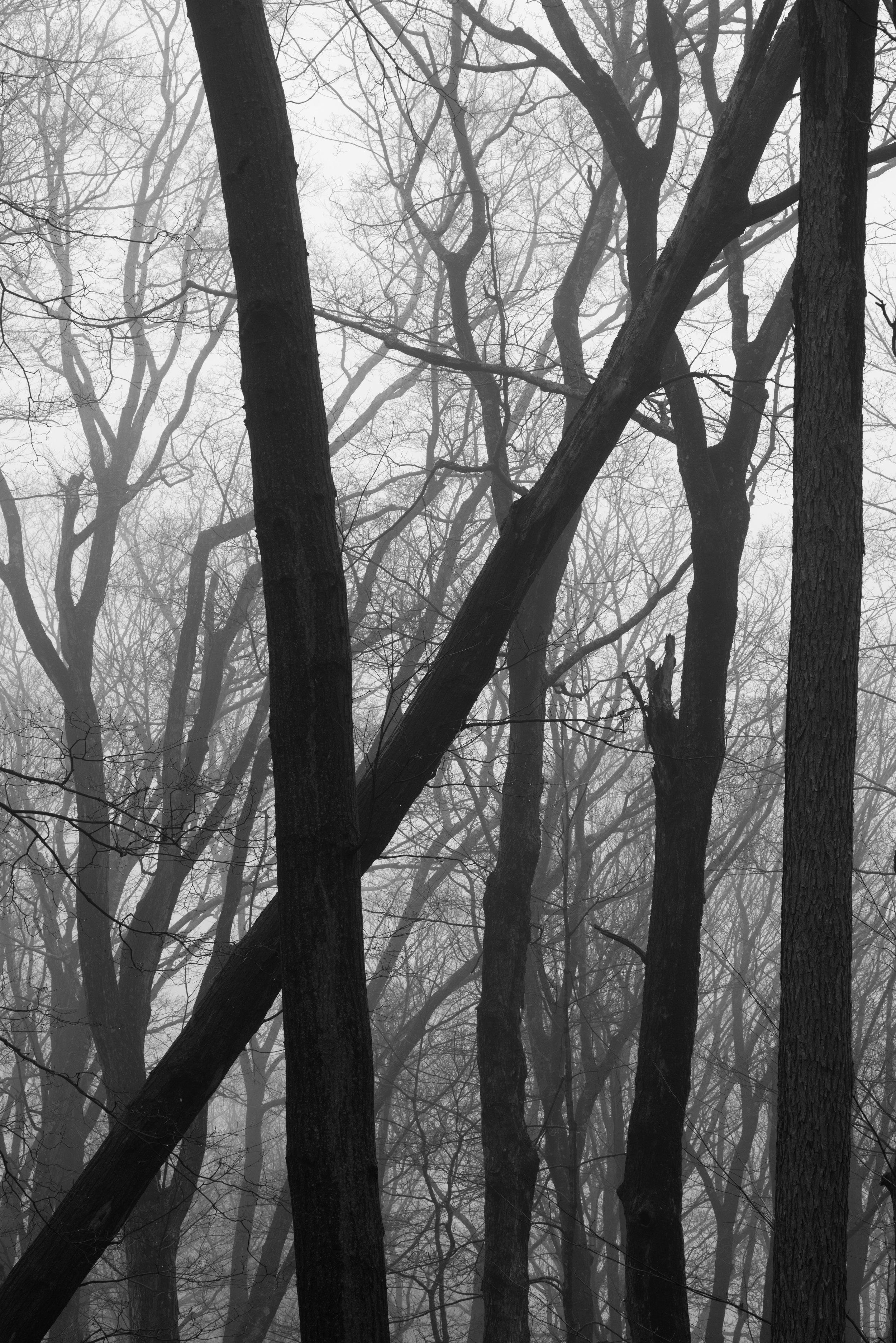 angled trees in fog.jpg