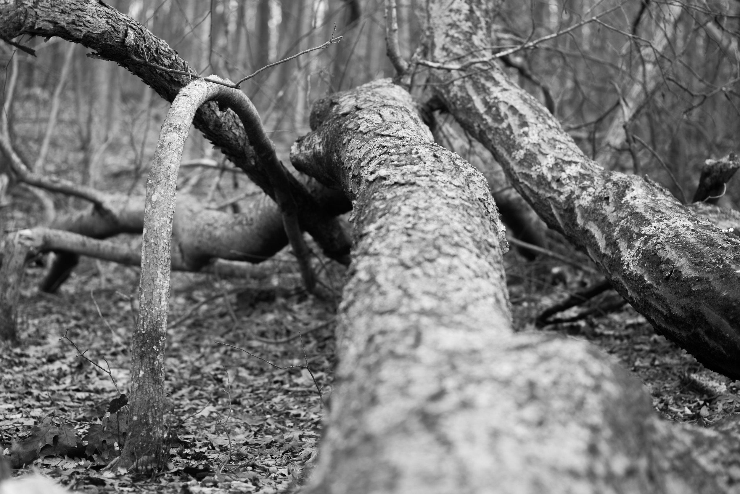 fallen and bent trees.jpg