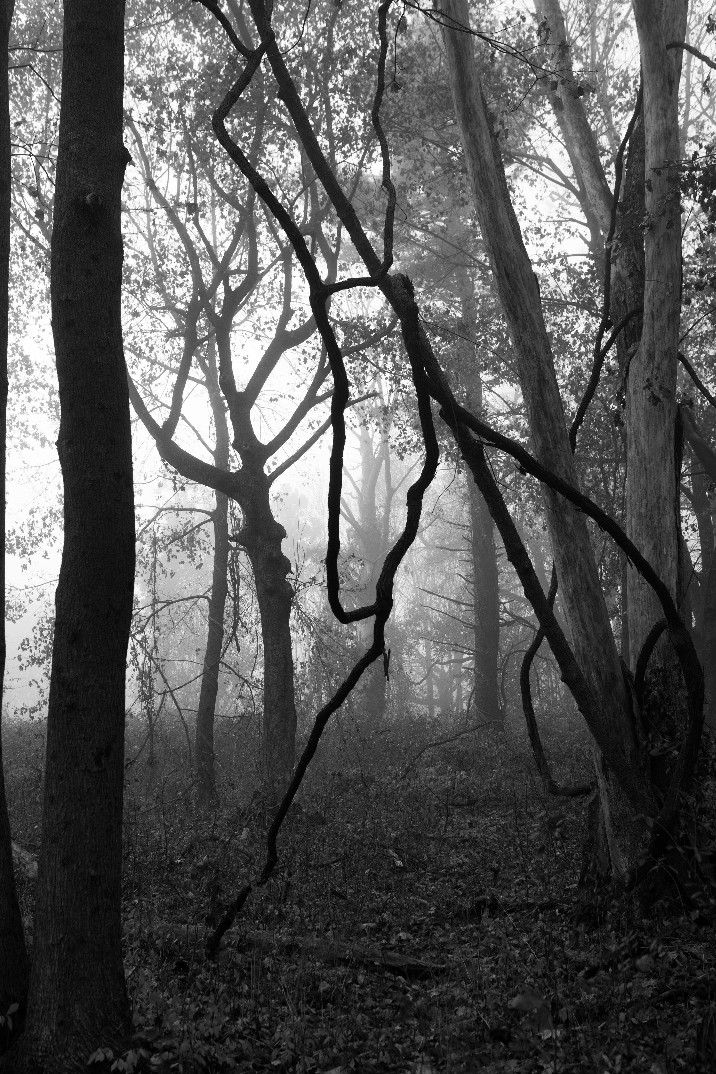 forest vine fog.jpg