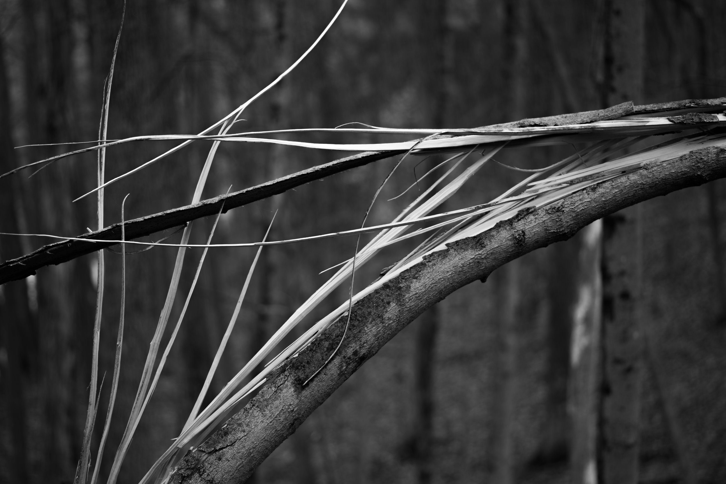 split maple sapling.jpg