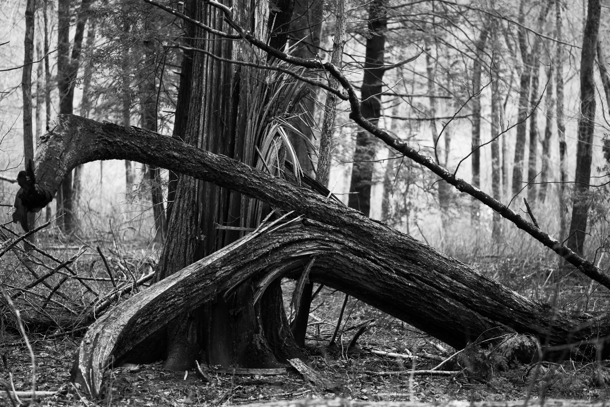 fallen oak.jpg