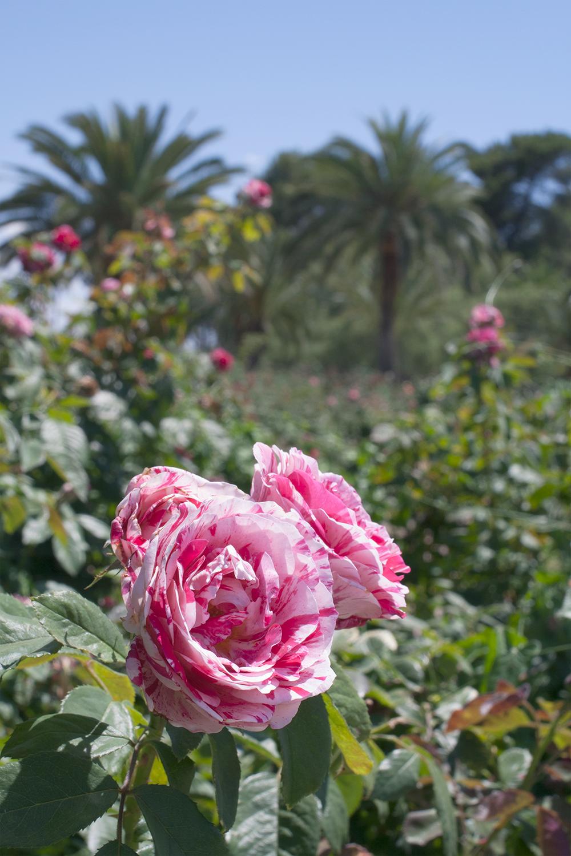 Reid-park_Rose-garden_06.png