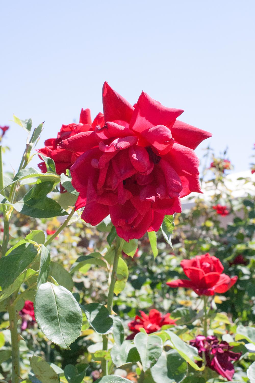 Reid-park_Rose-garden_05.png