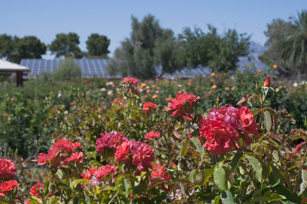D-_0_What's-Up-Maddy_1-Blog_blog-photos-2019_an-afternoon-in-tucson_Reid-park_Rose-garden_08.png