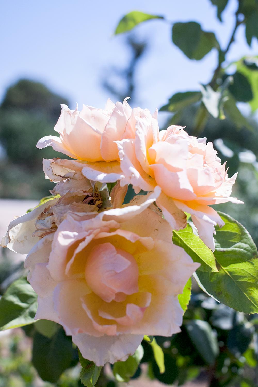 Reid-park_Rose-garden_0262.png