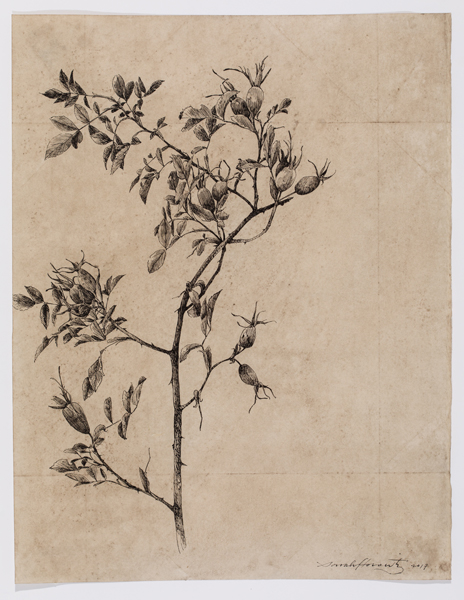 """Rosehips I , sumi ink on walnut dyed paper, 16 x 12"""", 2017"""