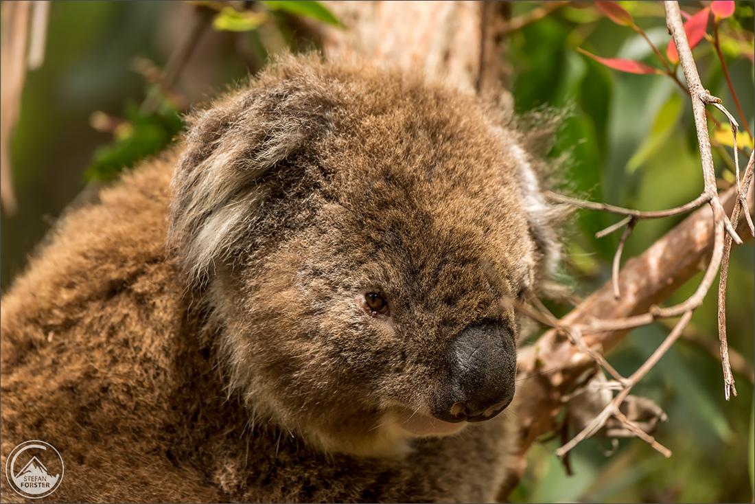 Der fetteste Koala den ich gesehen hab. Der hat sogar am Tag gefuttert, zu der Tageszeit an der diese Tiere normalerweise schlafen.