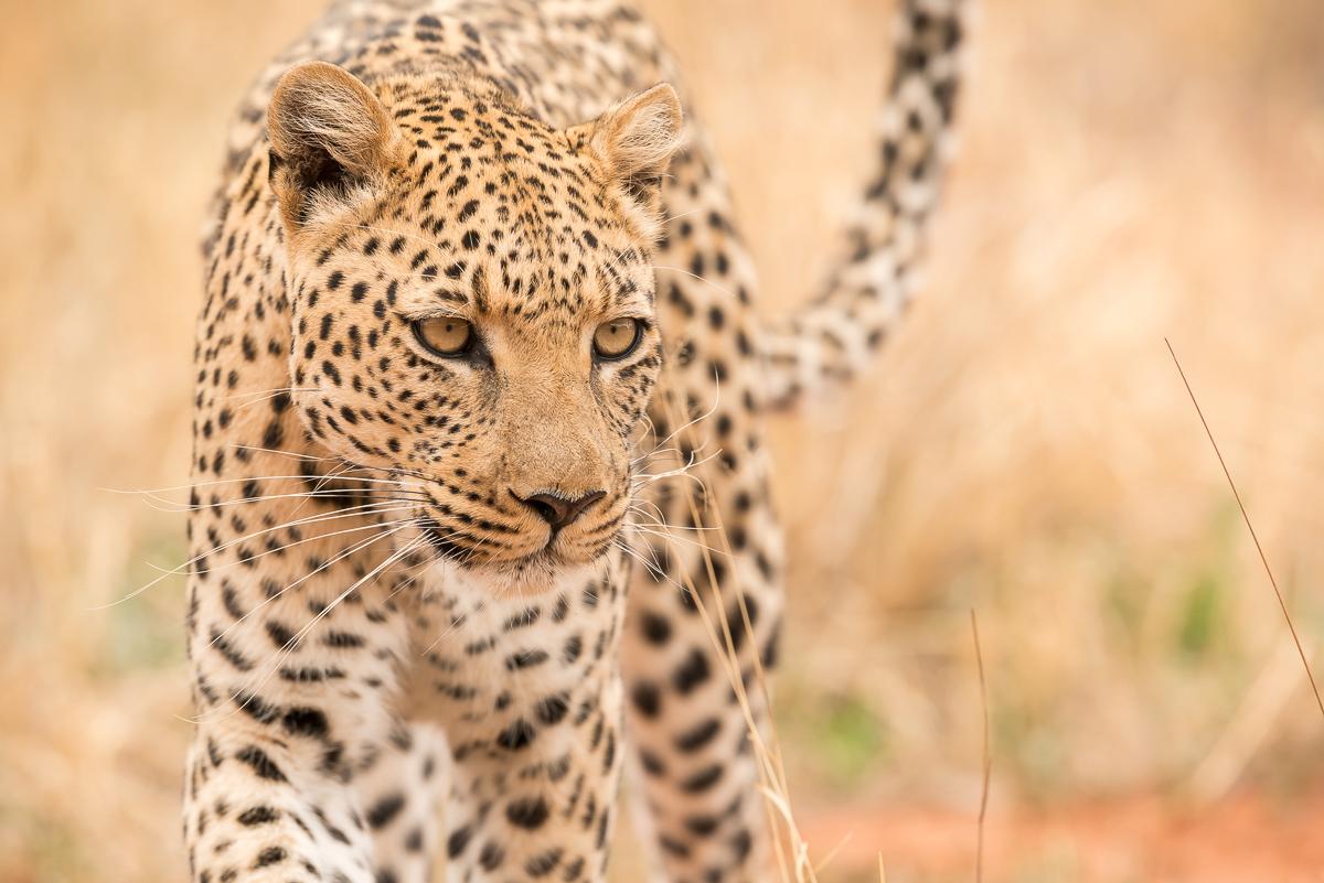 ....  AFRIKANISCHE TIERE  ..  AFRICAN ANIMALS  ....