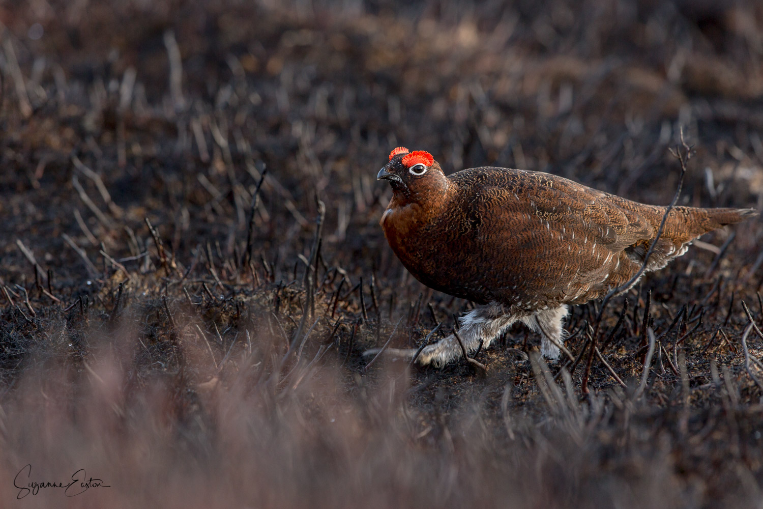 Red Grouse in burnt heather