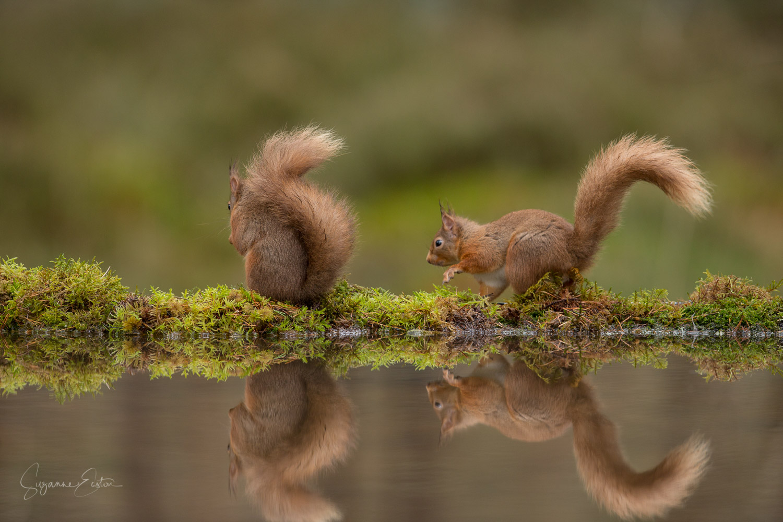 Red squirrel retreat
