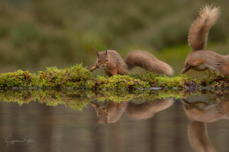 Red squirrel exit