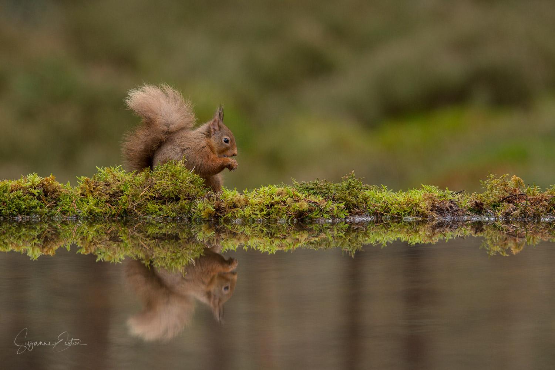 red squirrel calm