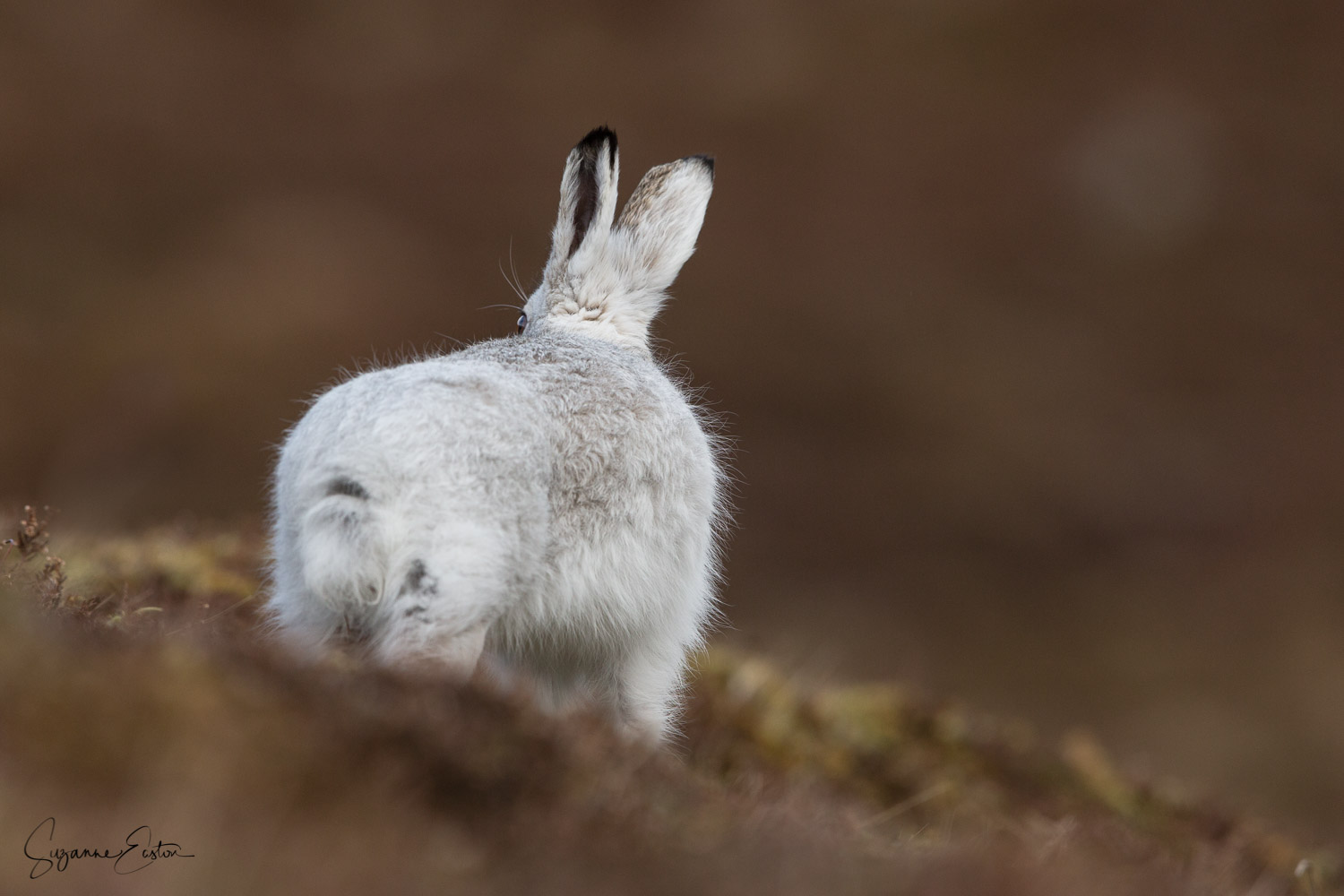 Departing mountain hare