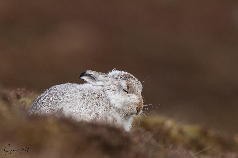 Dozing mountain hare