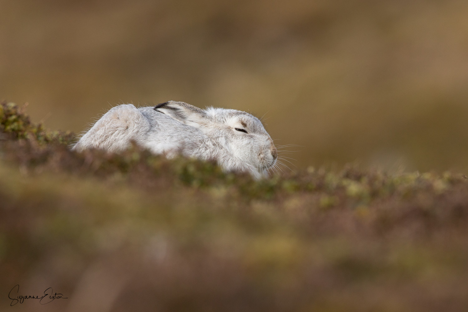 Mountain Hare in new form