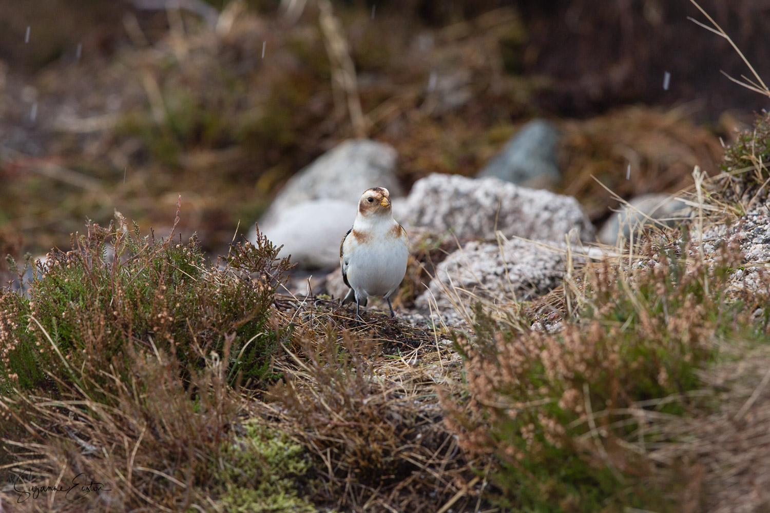 Snow bunting in the heather of the Scottish highlands