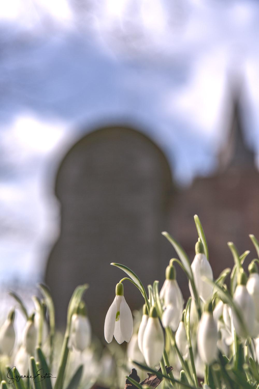 St Magnus snowdrops.jpg