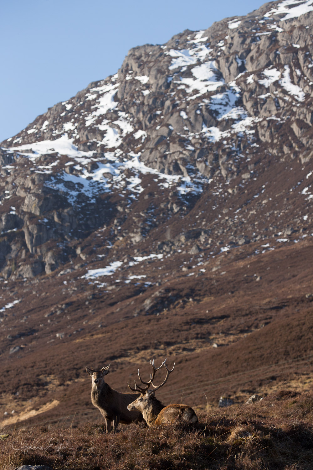 Red deer hind and stag in the Scottish Highlands