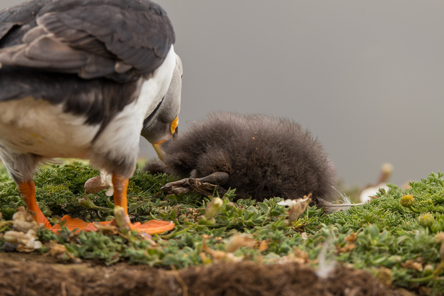 Puffin with dead chick