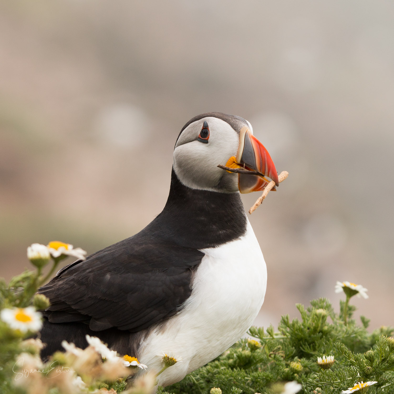 Puffin with a single stick as a gift