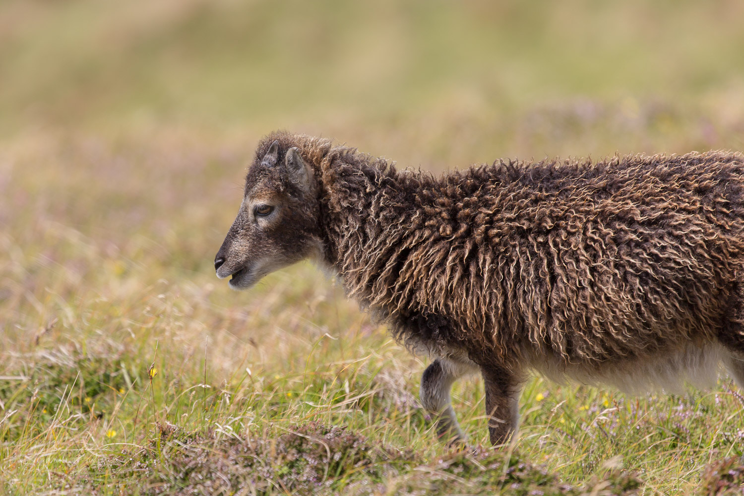 Soay lamb on Lundy