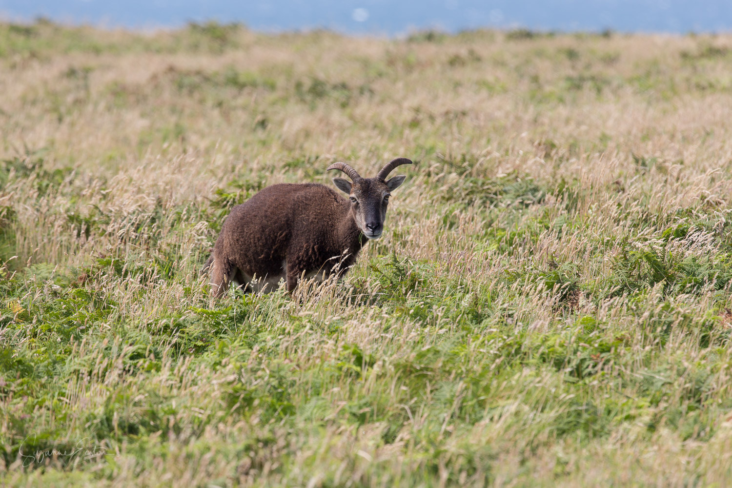 Grazing soay sheep on Lundy