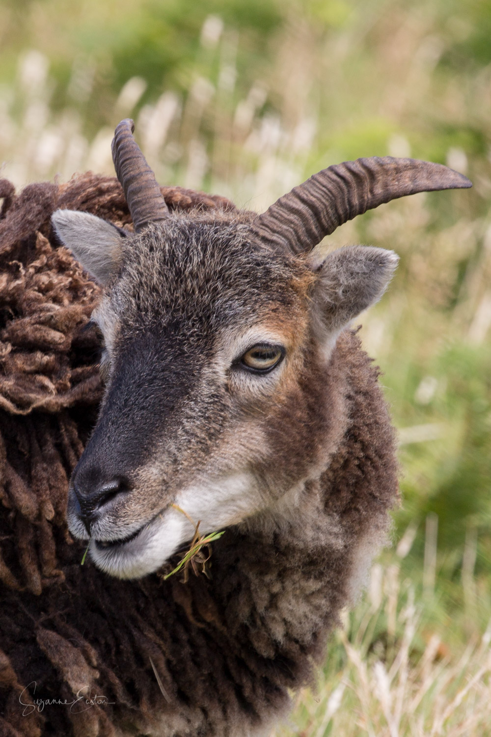 Soay sheep on Lundy
