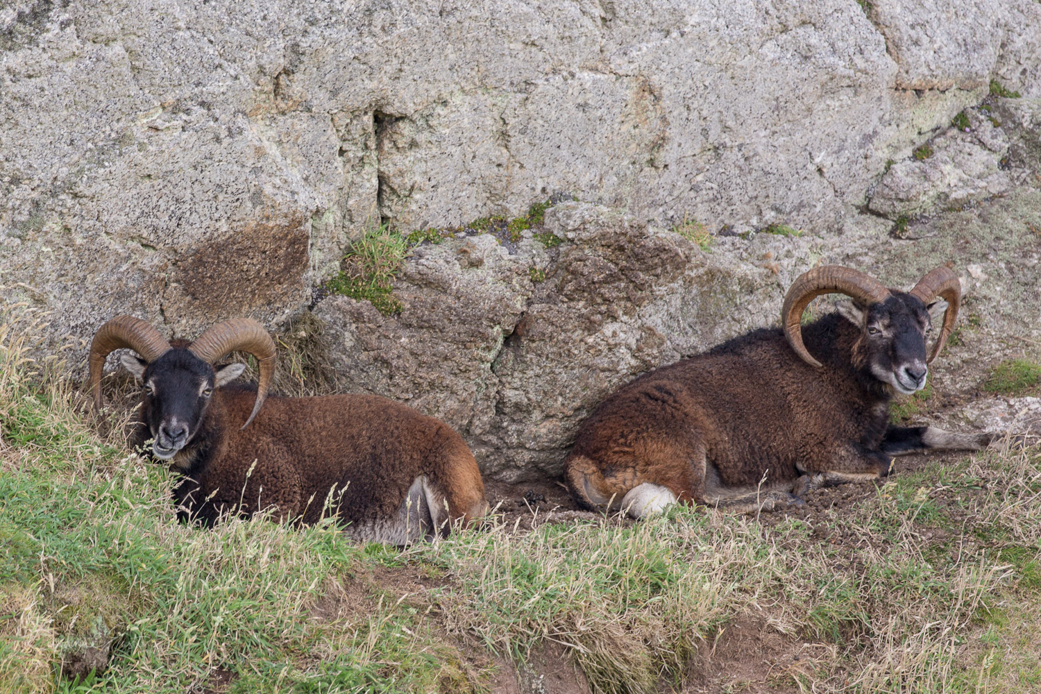 Soay rams on Lundy