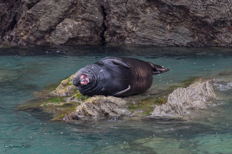 Yawning bull seal on Lundy Island