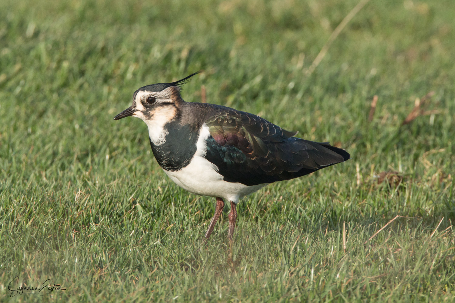 Lapwing in Orkney with its distinctive crest