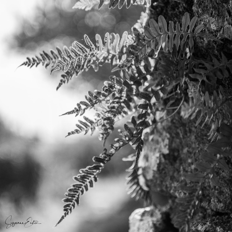 Ferns at Carn Euny