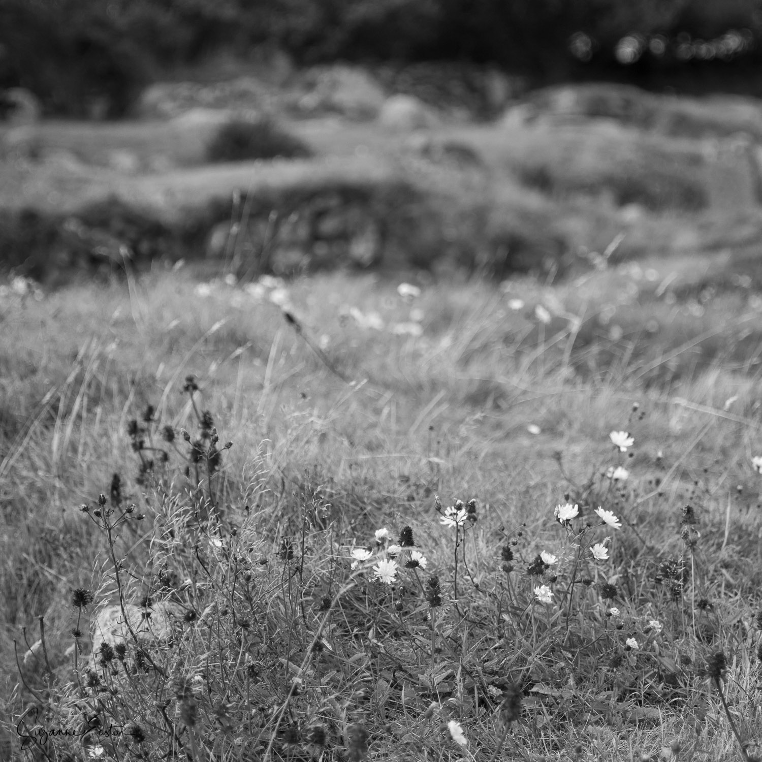 Wild flowers at Carn Euny