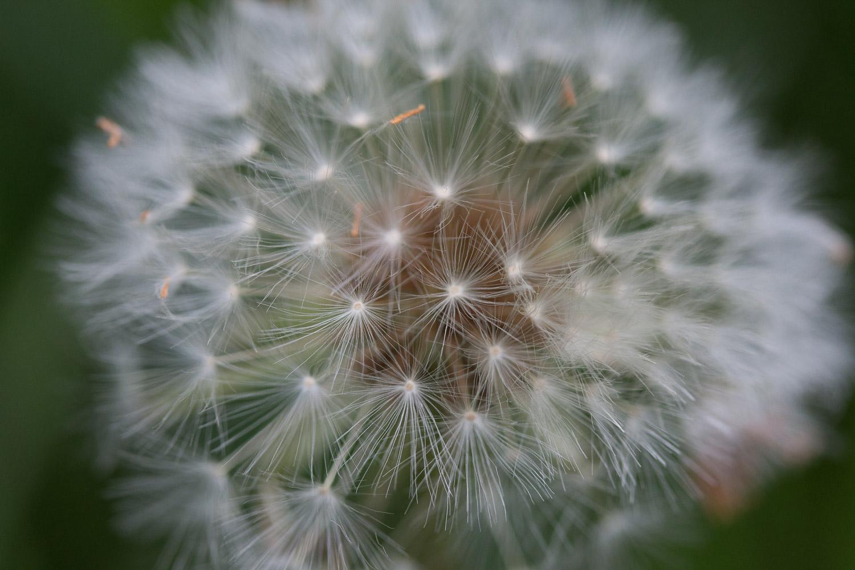 Full dandelion seed head