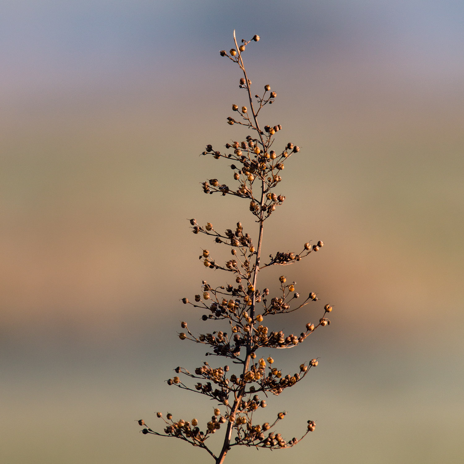 Seedhead in winter sun with layered colours behind