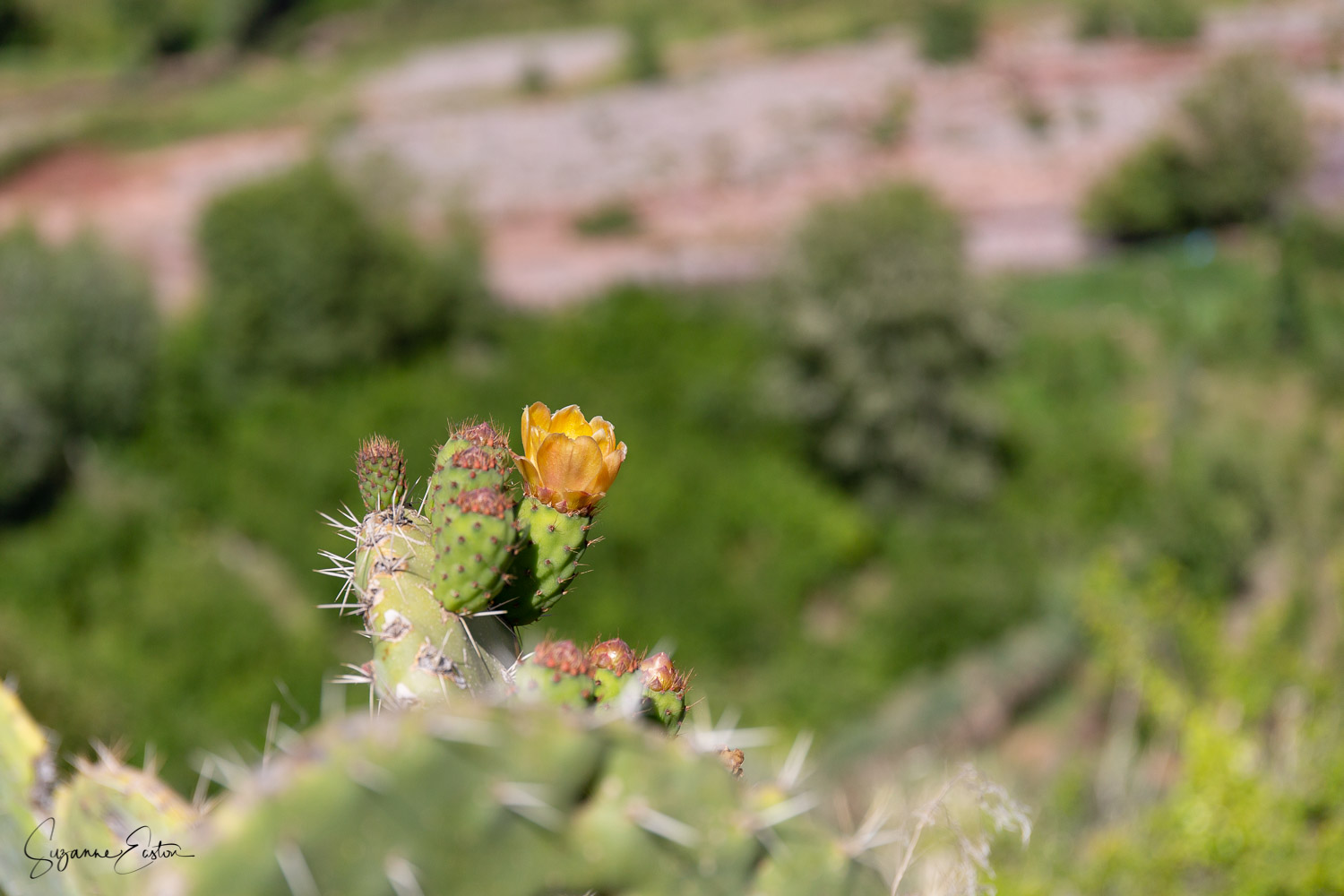 The prickly pear flower is harvested and dried before being used as pot pourri in Morocco
