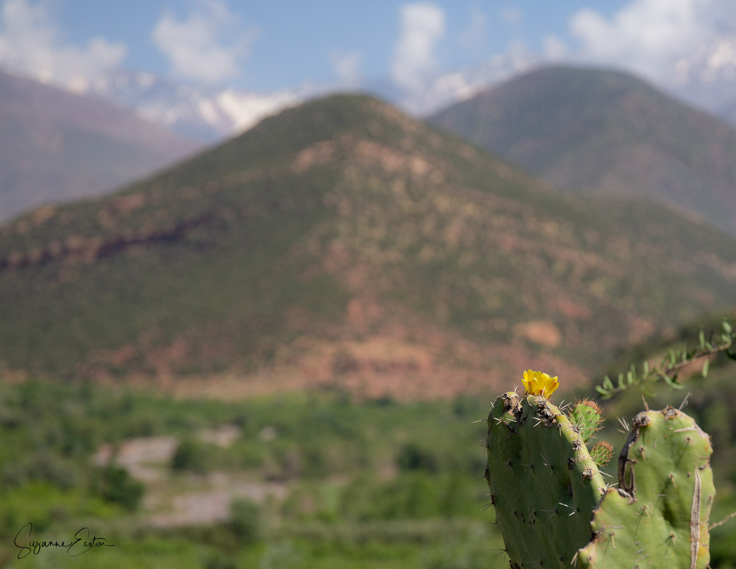 Prickly pear with the Atlas mountains behind