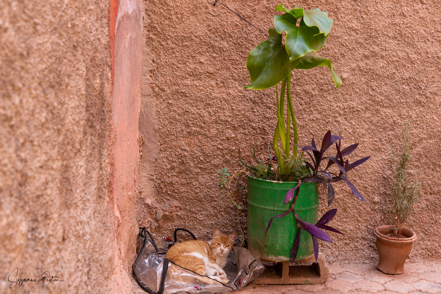 A wild cat living on the streets of Marrakech. Under a plant and in a plastic bag this ginger cat was hiding from the spring heat.