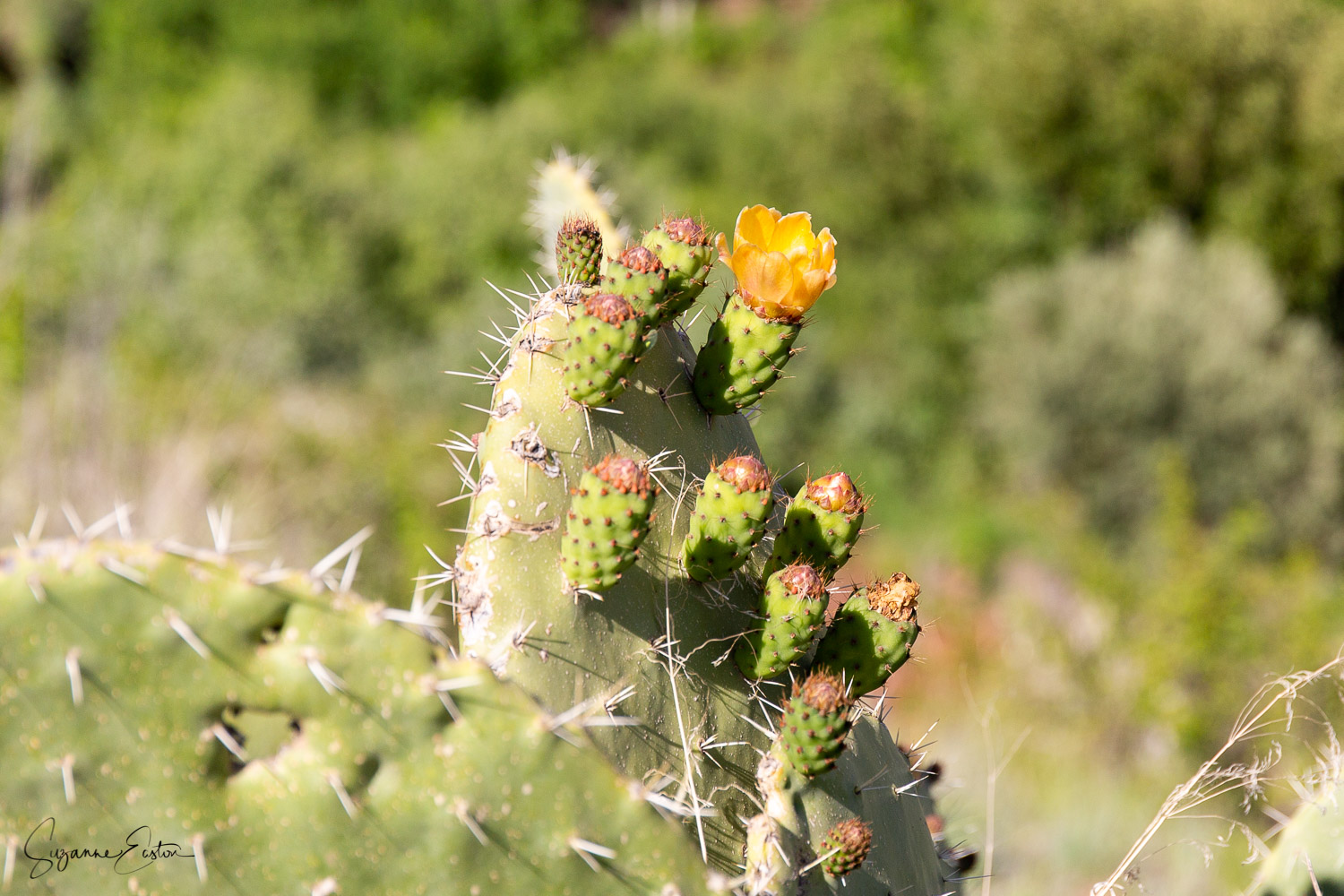 A prickly pear flower in Marrakech