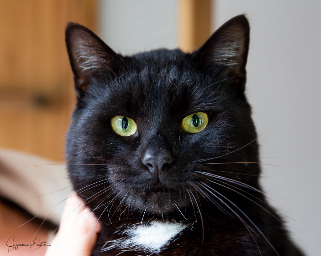 Bean is a rescue cat looking for his forever home
