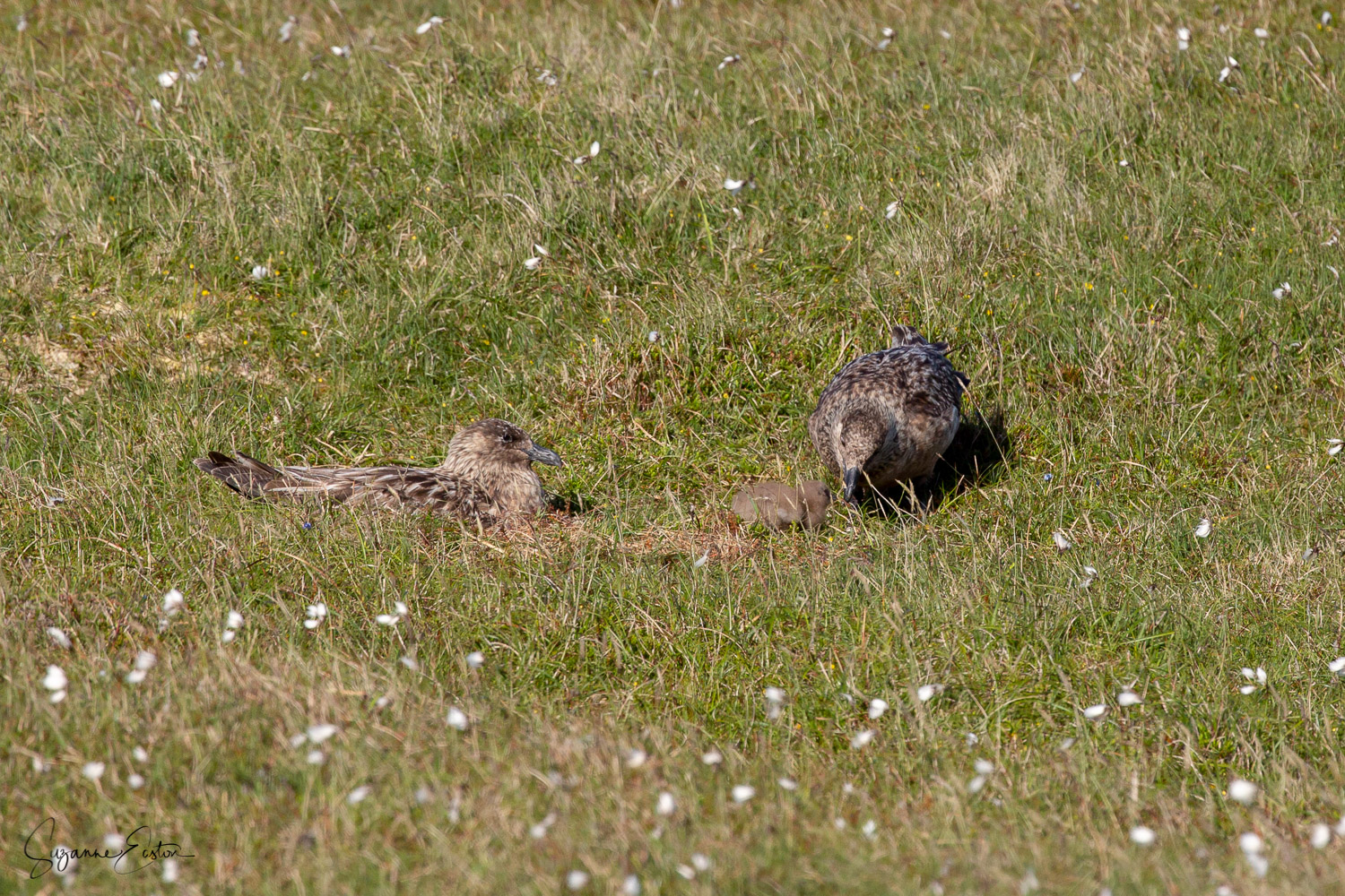 Bonxie family in Shetland with a young chick