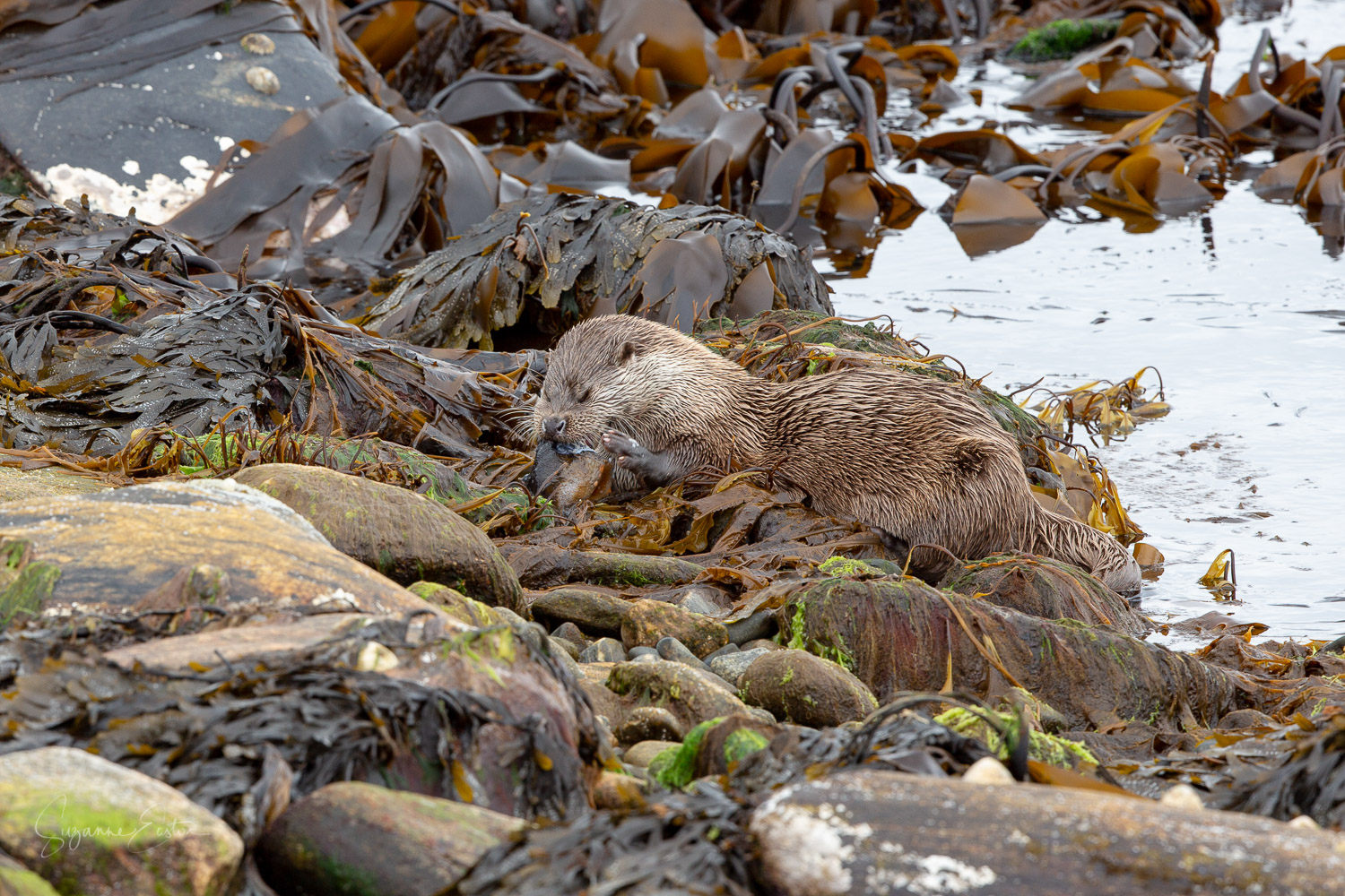 A female otter eating a lumpshucker in shetland