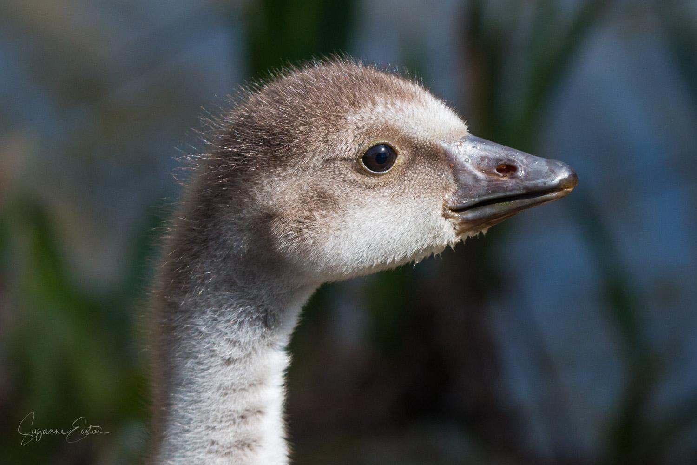 Hawaiian gosling
